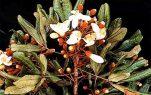 Οι ιδιότητες του αφροδισιακού βοτάνου – Catuaba (Erythroxylum Catuaba)