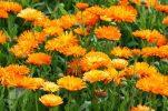 Καλλυντικά φτιαγμένα με καλέντουλα. Το τρυφερό λουλούδι της φύσης για πορσελάνινη αψεγάδιαστη, επιδερμίδα.