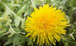 Το ταραξάκο είναι το πιο θαυμαστό βότανο! Λίστα με ιδιότητες!