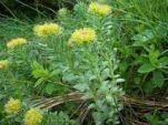 Ροδιόλα: Ένα φυτό που βοηθάει στη θεραπεία της κατάθλιψης