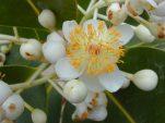 Έλαιο tamanu : ο »γιατρός» της επιδερμίδας